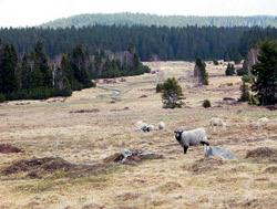Volně se pasoucí ovce